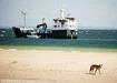 AUS OCEARCH IMAGE 12 dingo on fraser island